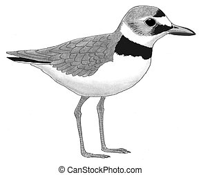 wilisons, plover