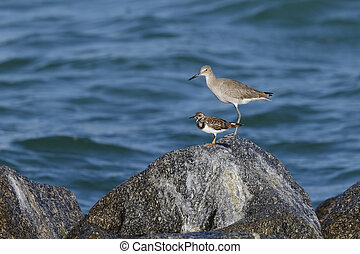 Willet and Ruddy Turnstone perched on a rock - Florida