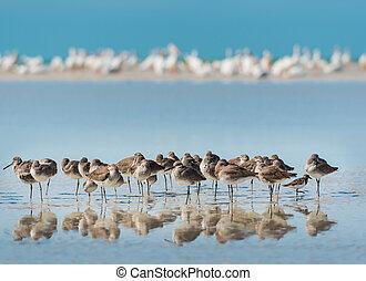 Willet Birds of Florida