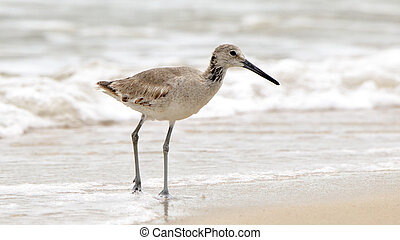 Willet walking on sand with surf in the background