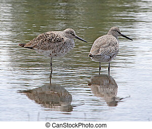 Willets in spring