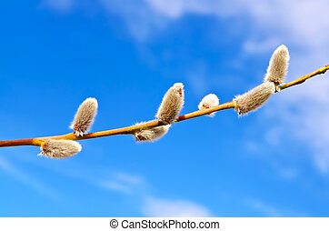 Willow against the blue sky