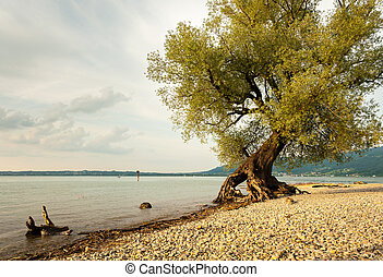 Willow at the shore of lake Bodensee