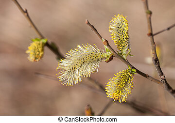 willow blooming in the spring