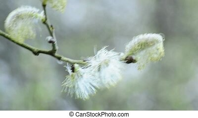 Willow blossom, a closeup of the blossom in spring in...