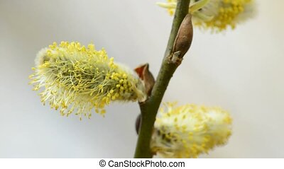 Willow blossom, a closeup
