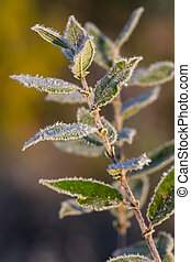 willow branch with leaves in hoarfrost