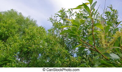 willow branches and green meadow