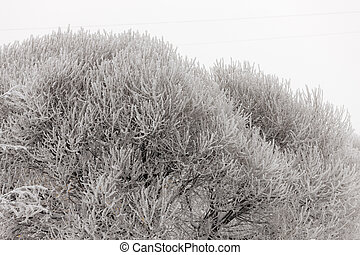willow branches in hoarfrost