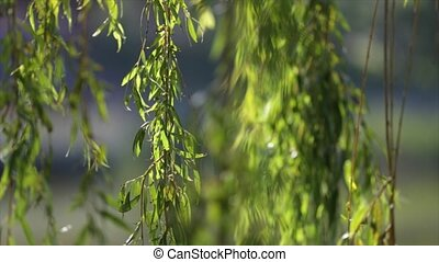 willow branches on the nature.