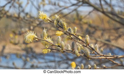 Willow branches with fluffy buds on a natural background
