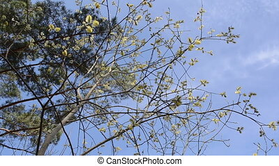 willow buds branch - willow branches with small soft fluffy...