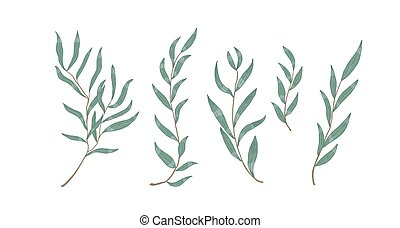 Willow eucalyptus branches with leaves vector illustration. Botanical design elements. Monochrome realistic tree twigs on white background. Decorative hand drawn evergreen shrub boughs.