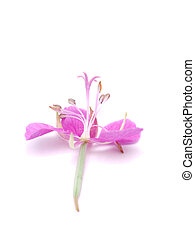 willow-flower tea on a white background