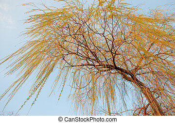 Willow in the sun against a blue spring sky