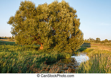 Willow on the bank of the creek among the tall grass