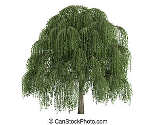 Willow or Salix - Willow or latin Salix isolated on white...