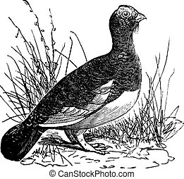 Willow Ptarmigan (Lagopus or Willow Grouse vintage engraving