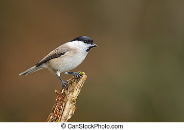 Willow tit in forest