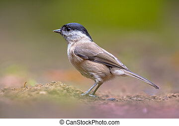 Willow tit on forest floor