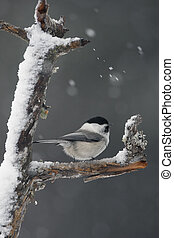 Willow tit, Parus montanus borealis, Single bird perched on branch in snow storm, Finland, winter