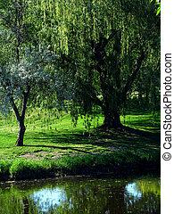 A willow tree alongside a creek.
