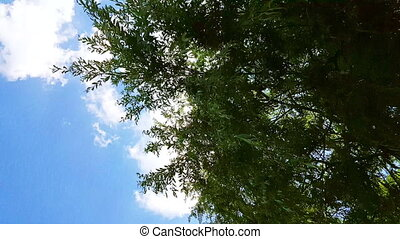 Willow tree branches swinging in the wind under the blue sky.