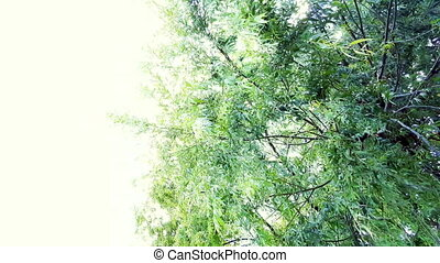 Willow tree branches swinging in the wind under the bright ...