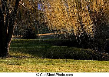 Willow Tree Branches - Willow tree branches over the stream ...
