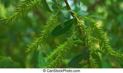Willow tree closeup daytime, leaves on wind, fresh spring...