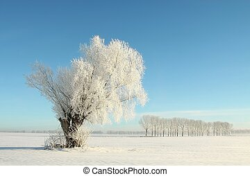 Willow tree covered with frost