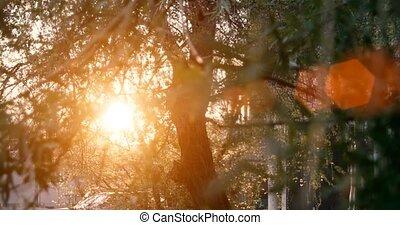 Willow tree in sunset light