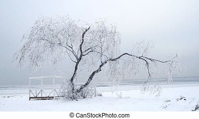 Willow tree in the winter - Willow tree in icicles in the...