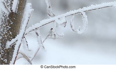 Willow tree in winter - Willow tree on branches covered by...