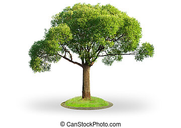 Willow tree isolated on white