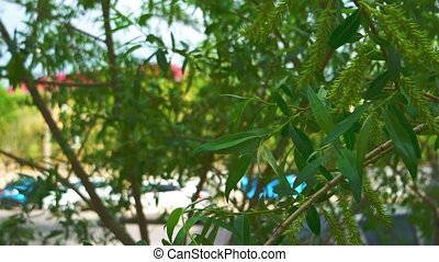 Willow tree leaves shaking gently in a breeze close up.