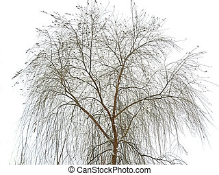 Willow tree on snowy white sky in winter