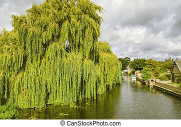 Willow tree on the river Greta Ouse at Godmanchester, a...