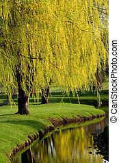 Willow Trees - Willow trees by the river side in Michigan ...