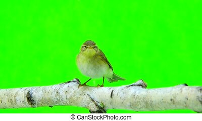 Willow Warbler (Phylloscopus trochilus) isolated on a green...