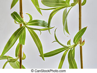Willow_2014_4 - Studio closeup of weeping willow (salix)...