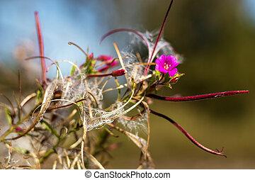 willowherb, bílý, chlupatý, smallflower, parviflorum, ...
