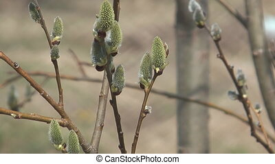 Willows. - Willow branches with buds on the soft background.