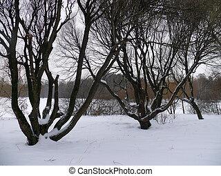 Willows in the snow. Park Pokrovskoe-Streshnevo. Moscow