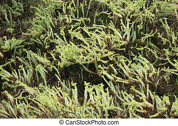wilsons, flora, promontorio