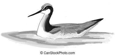 Wilsons Phalarope - Phalaropus tricolor - female