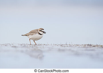 WIlsons Plover and its Reflection