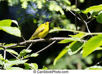Wilson's Warbler, a yellow bird
