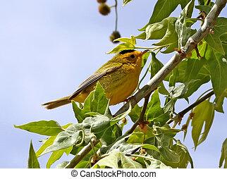 Wilsons Warbler in spring - Wilsons warbler (Wilsonia...