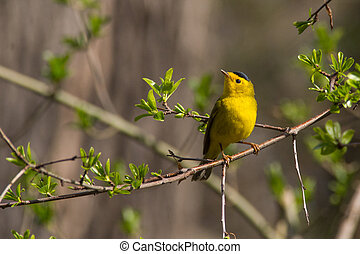 Wilsons Warbler perched on perch.